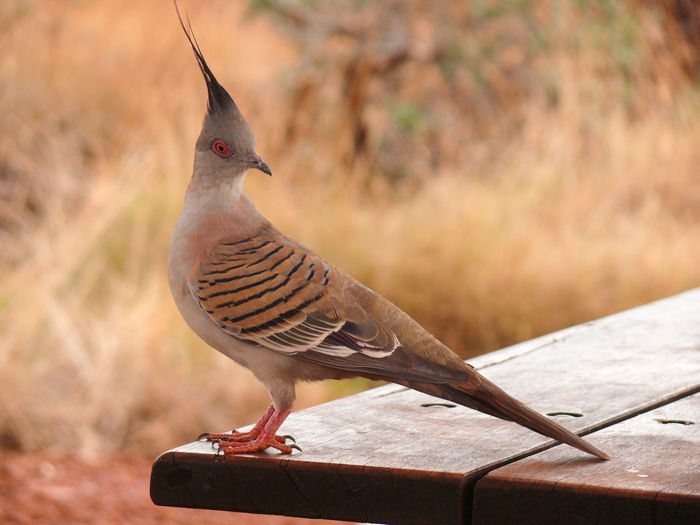 A crested pigeon in Karijini National Park, Western Australia. Animals In The Wild Bird Focus On Foreground One Animal Animal Wildlife Vertebrate Day Perching Close-up No People Outdoors Wood - Material Nature Beak Profile View Crested Pigeon Ocyphaps Lophotes Spitzschopftaube Western Australia