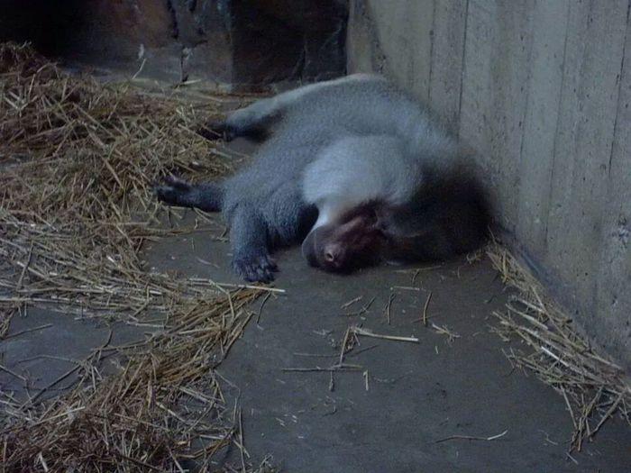 Monkey Sleepy
