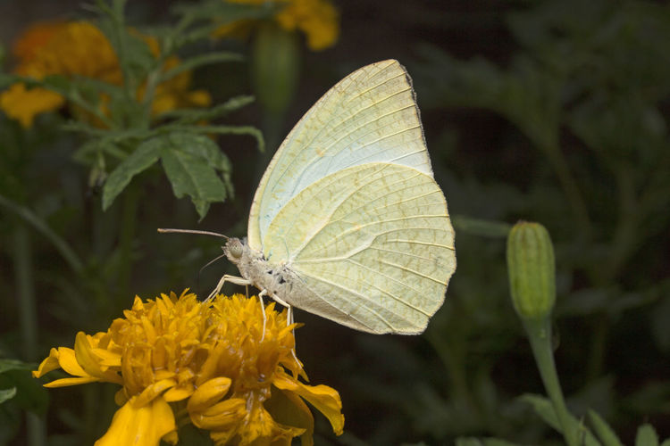 Animal Themes Animal Wing Animals In The Wild Beauty In Nature Butterfly - Insect Catopsilia Catopsilia Pyranthe Catopsilia Pyranthe Pyranthe Close-up Day Insect Leaf Mottled Emigrant Nature No People One Animal Outdoors Plant Pollination Yellow