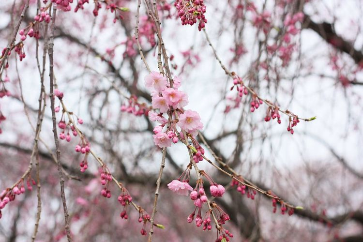 Taking Photos Hanging Out Taking Photos Photographic Memory Japan Flowers Pink Sakura Spring Nature_collection Nature Colors Travel Photography Enjoying Life Hello World Learn & Shoot: Simplicity Natural Light Pastel Power