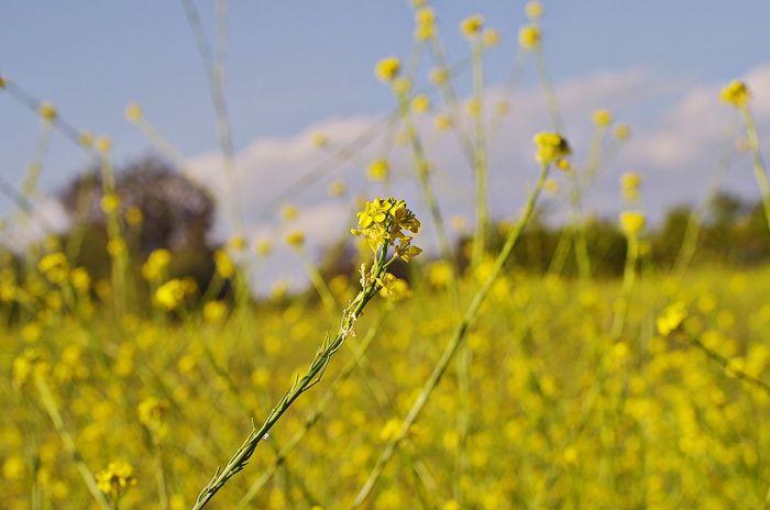 Fields of Mustard Mustard Flowers Landscape Bokeh Kit Carson Park Super Takumar