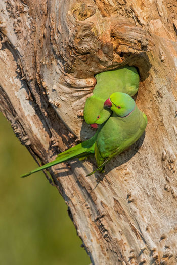 Pair of Ring-necked parakeets inspecting nest Beauty In Nature Courtship Green Color Nature Nest Pair Of Birds Psittacula Krameri Ring-necked Parakeet Ringneck Parakeet Tree Trunk
