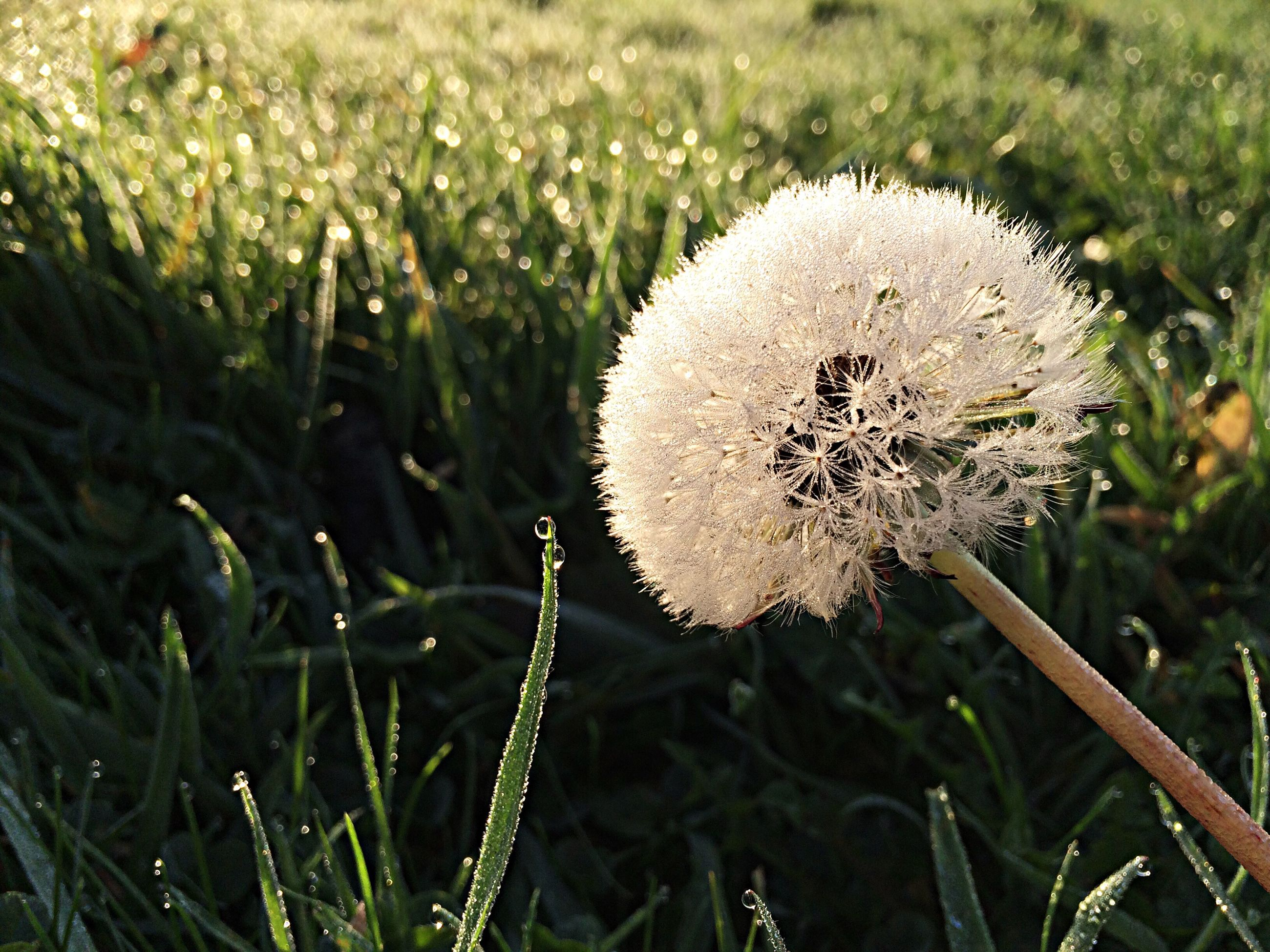grass, growth, field, mushroom, close-up, white color, nature, dandelion, fragility, freshness, beauty in nature, focus on foreground, plant, fungus, toadstool, flower, uncultivated, day, selective focus, outdoors