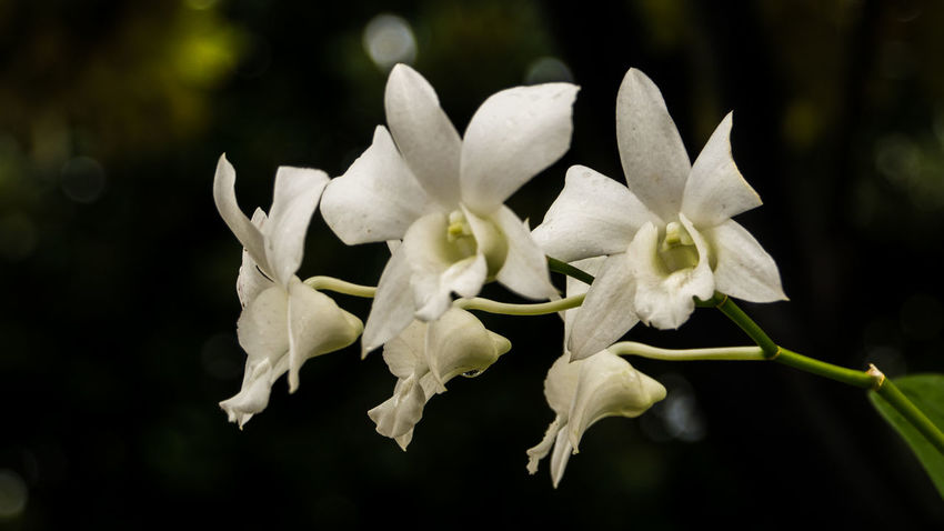 Beautiful White Orchid After The Rain Orchid Orchid Blossoms White Orchids Beauty In Nature Blooming Close-up Flower Flower Head Fragility Freshness Growth Nature No People Orchid Flower Outdoors Petal Plant White Color White Orchid Flower