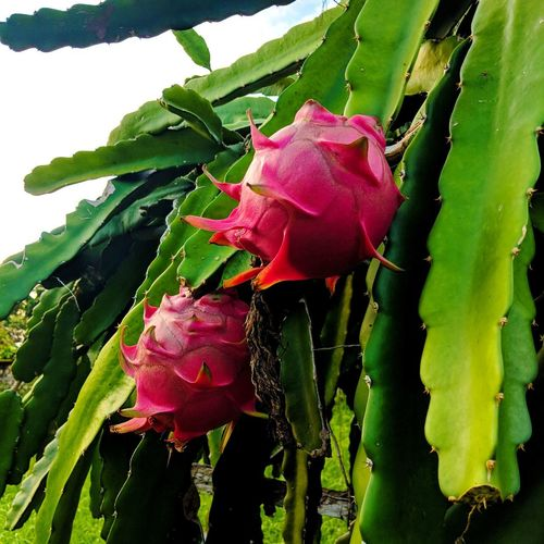 Dragon Fruit Dragonfruitplant Dragonfruit Farm Flower Head Flower Leaf Petal Close-up Plant Green Color