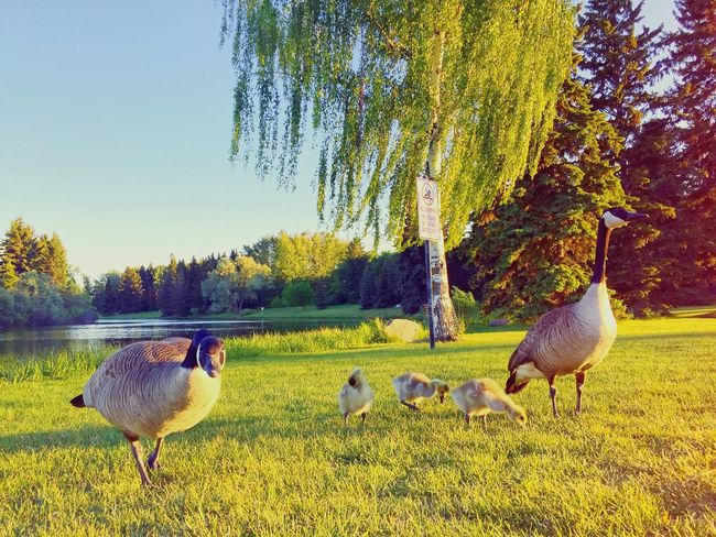 Geese Family Park Summer Sunset Hanging Out Hawrelak Park Edmonton Shabee Rizvi SRCanvas Sunday