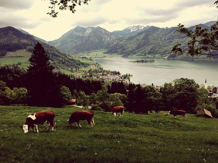Away From The Hustle Away From The City Idyllic Scenery Idyllic Lake View Lakeview View From Above Hiking Bayern Bavarian Landscape Bavaria Naturephotography Nature Photography Postcard Picture Urban Escape Weide Schliersee Bayerische Alpen Bavarian Alps Cows Cow Kühe Kühe Auf Der Weide Alm