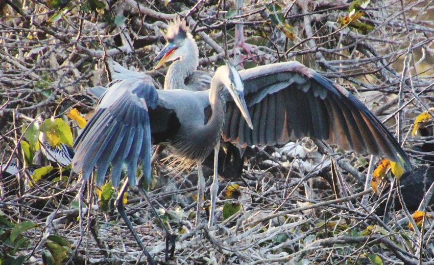 Animal Themes Animals In The Wild Birds With Wings Spread Blue Herons Close-up In A Tree Nature Outdoors No People