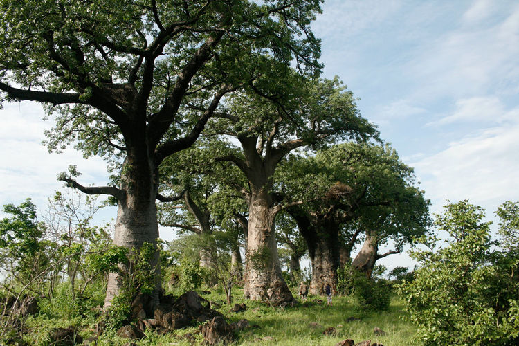 Forest African Bush Forest African Forest Baobab Baobab Forest Baobab Tree Beauty In Nature Bush Bushveld Day Green Color Growing Idyllic Landscape Lush Foliage Nature Nature Nature Photography Nature_collection No People Outdoor Photography Outdoors Safari Tranquil Scene Tranquility Tree