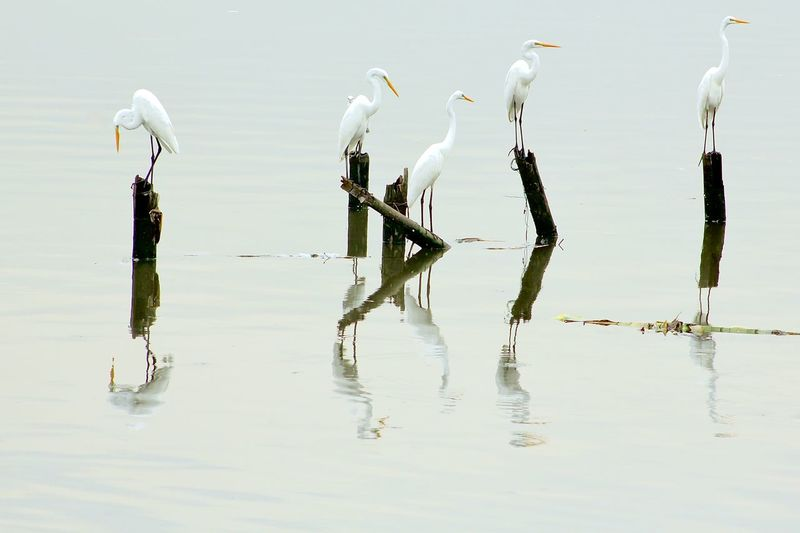 Great egrets perching on wooden posts over lake