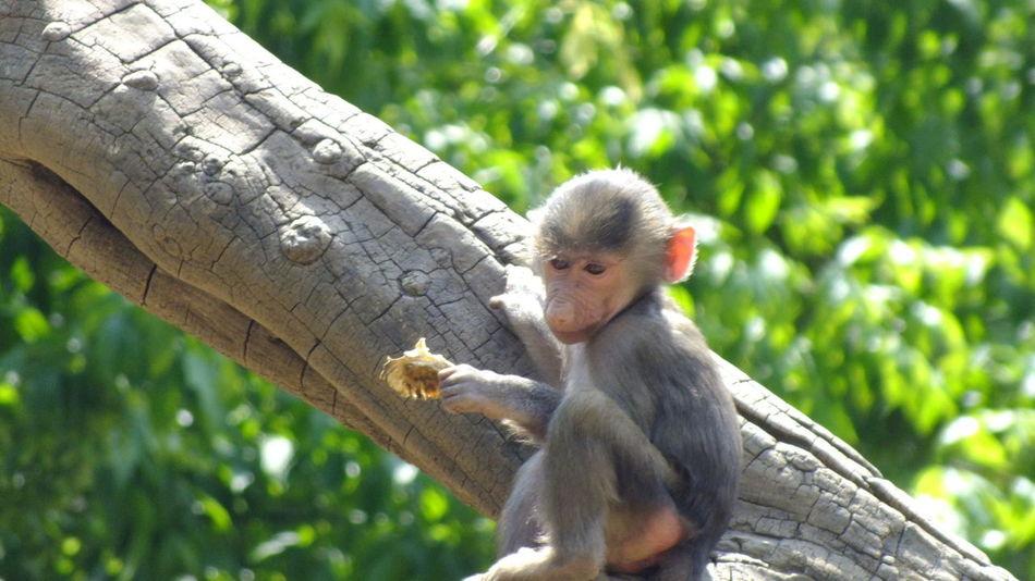 Baby Animals Cute Eating Hungary Infant Mammal Monkey Nature Nature Nature Photography Nature_collection Naturelovers Nyiregyhazazoo Outdoors Photography Tree Wildlife Wildlife & Nature Wildlife Photography