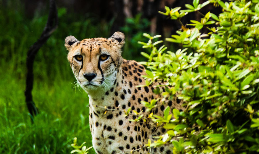 Animal Animal Themes Animal Wildlife Animals In The Wild Big Cat Cat Cheetah Day Feline Focus On Foreground Green Color Looking At Camera Mammal Nature No People One Animal Outdoors Plant Portrait Spotted Undomesticated Cat