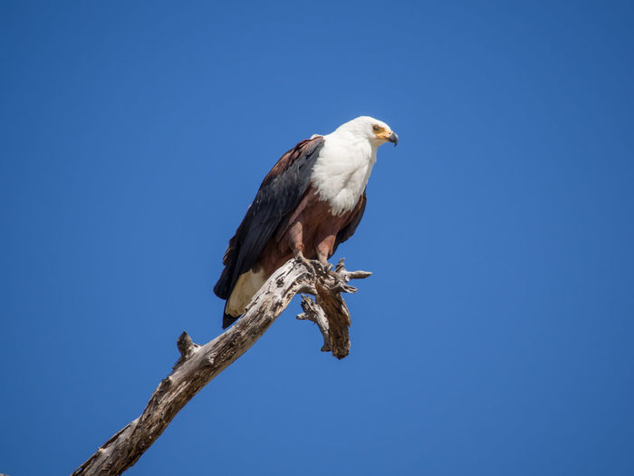 Low angle view of african fish eagle perching on bare tree against clear blue sky, moremi game reserve, botswana