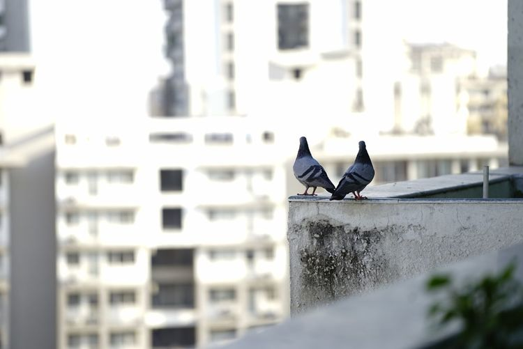 Bird Pigeon Perching City Focus On Foreground One Animal Residential Structure Residential Building Selective Focus Building Exterior No People Residential District Two Two Of A Kind Parapet Wall Parapet Space For Copy Space For Text Space For Ad First Eyeem Photo