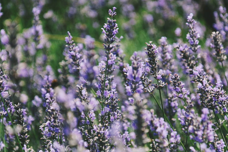 Lavender picking Flower Nature Purple Beauty In Nature Plant Lavender Outdoors Fragility Closing Summer Rural Scene Day Close-up No People Landscape Defocused Flower Head
