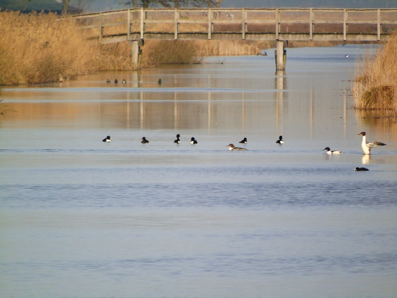 water, bird, animals in the wild, vertebrate, animal wildlife, animal themes, animal, group of animals, lake, nature, large group of animals, waterfront, day, beauty in nature, no people, swimming, beach, outdoors, water bird, floating on water, flock of birds