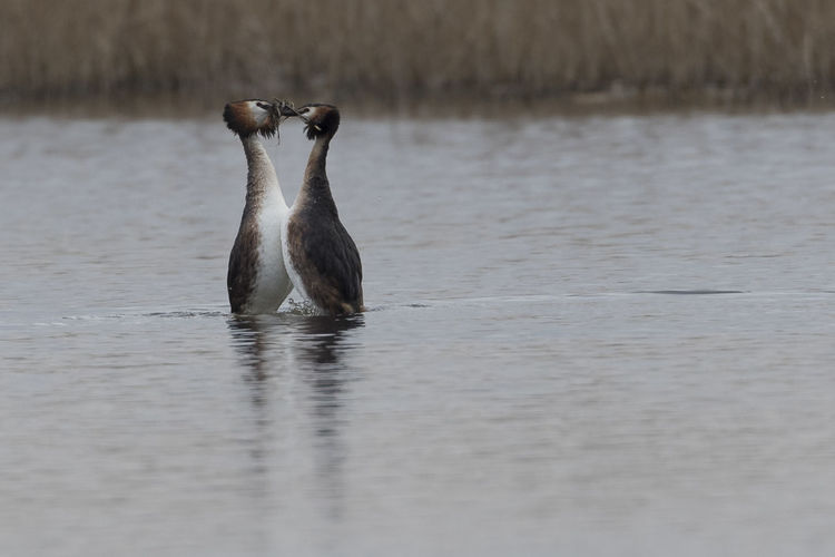 Great Crested Grebes Dancing Grebes Great Crested Grebe Grebes Dancing RSPB Ham Wall Animal Wildlife Nature No People Two Animals