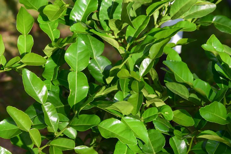 Lemon lime leaves tree Cooking Curry Herb Plant Tree Backgrounds Beauty In Nature Close-up Foliage Food And Drink Fresh Freshness Full Frame Green Color Growth Herbal Leaf Leaves Lemon Lime Lush Foliage Nature Plant Plant Part Sunlight Tranquility