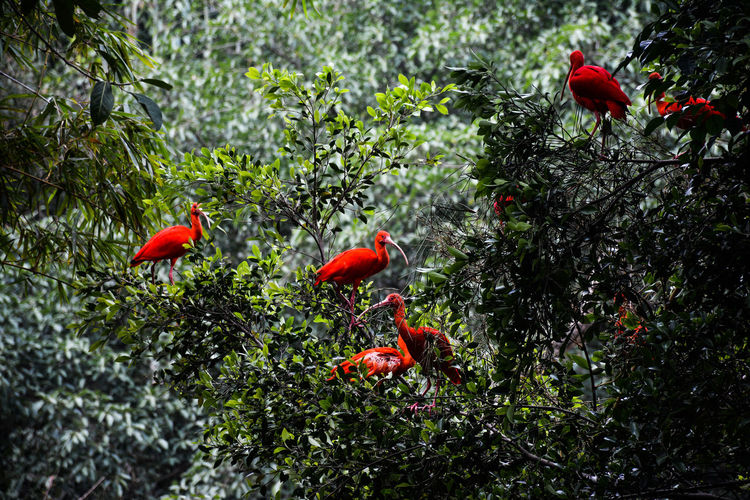 Red scarlet ibis on tree