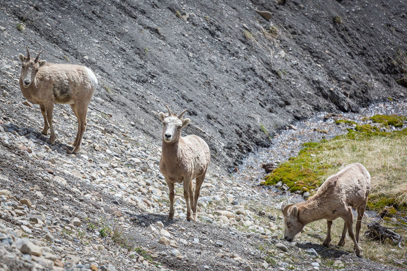 Bighorn sheep Bighorn Sheep Animal Themes Animal Wildlife Animals In The Wild Beauty In Nature Day Mammal Mountain Nature No People Outdoors Standing Togetherness Two Animals Young Animal
