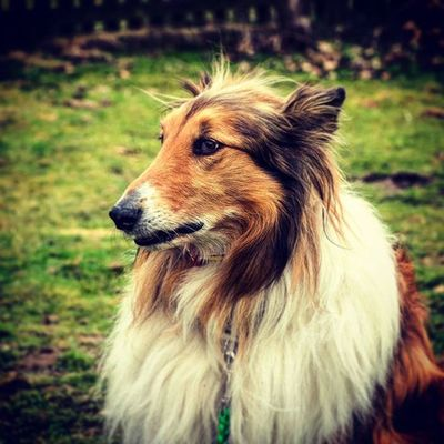 Collie Hund Hundeschule Hundeplatz Hundeschulefreierhund Freierhund Testbild Odin Dog Germany
