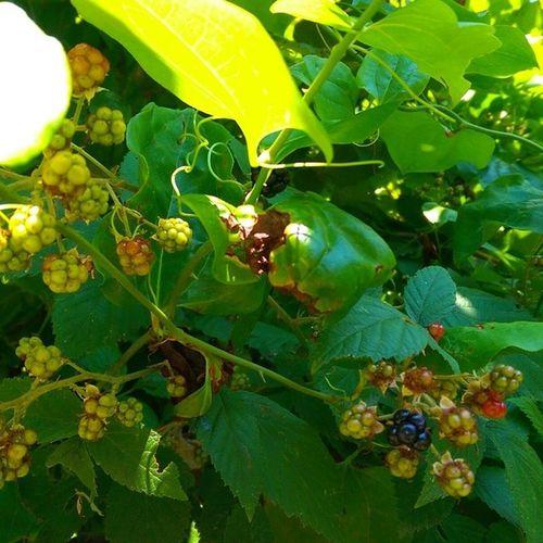 Burada bir tanesi olmus... Bogurtlen Mulberry Blackberry Fruit meyve sariyer istanbul color nature doga bahar green hdr