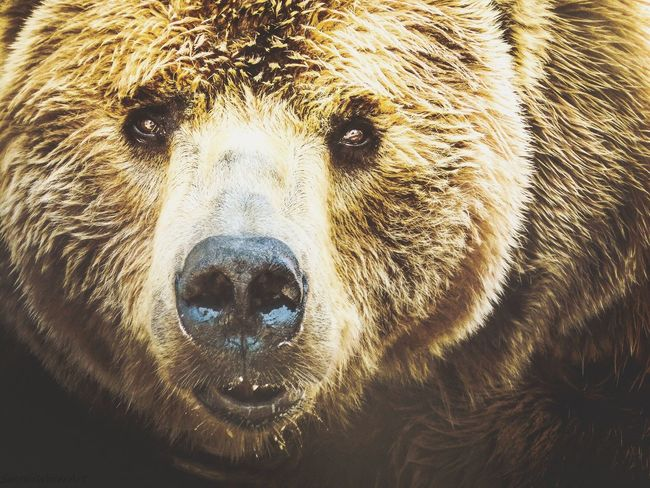 Majestic Bear One Animal Bear Animal Wildlife Grizzly Bear No People Mammal Animals In The Wild Nature Close-up Animal Themes Portrait Day Outdoors The Great Outdoors - 2017 EyeEm Awards