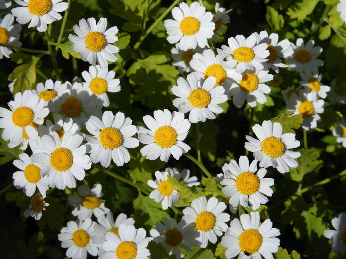 Feverfew Daisy (Tanacetum parthenium) Tanacetum Parthenium Backgrounds Beauty In Nature Botany Close-up Daisy Day Feverfew Flower Flower Head Flowering Plant Flowers Fragility Freshness Growth Inflorescence Nature No People Outdoors Petal Plant Pollen Vulnerability  White Color Yellow