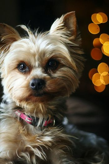 Yorkie Portrait Looking At Camera Dog Pets Domestic Animals Close-up Mammal No People Animal Themes Indoors  Dogs Yorkie Detail Depth Of Field Bokeh Bokeh Photography Bokehlicious