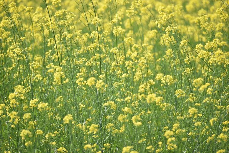 Full frame shot of fresh yellow flowers in field
