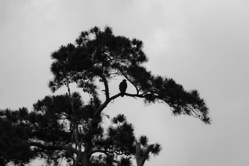 Silhouette of Eagle in Tree Eagle Animals In The Wild Beauty In Nature Branch Clear Sky Coniferous Tree Day Growth Land Low Angle View Nature No People Outdoors Plant Scenics - Nature Silhouette Sky Tranquility Tree Vertebrate