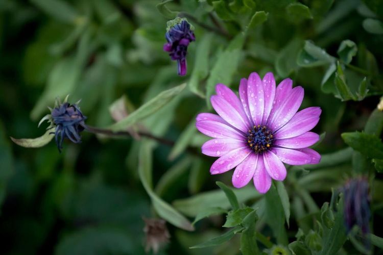 Flower Petal Fragility Purple Nature Growth Freshness Flower Head Beauty In Nature Blooming Plant Day Focus On Foreground No People Outdoors Osteospermum Close-up Eastern Purple Coneflower