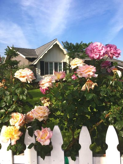 Americana White Picket Fences Flowers Rose Bush Flower Garden Garden California Homes Homes California