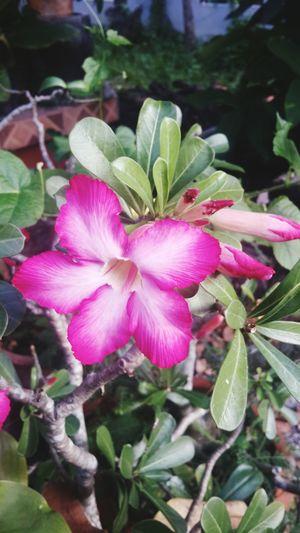 ดอกไม้สวย Flower Vertical Nature Growth Flower Head Plant Pink Color Petal Fragility Freshness Beauty In Nature Focus On Foreground Close-up Leaf Blooming Outdoors No People Day Pistil Passion Flower
