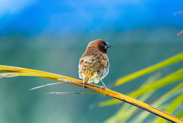Rear view of scaly-breasted munia perching on stem