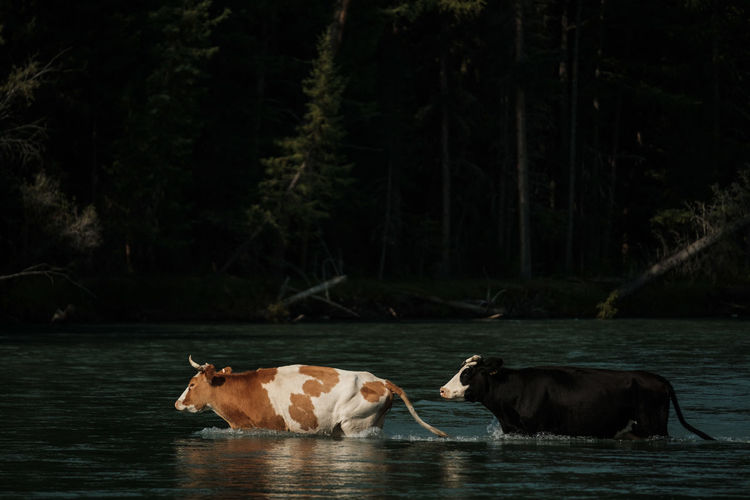 Cows wading across a river in the altai mountains
