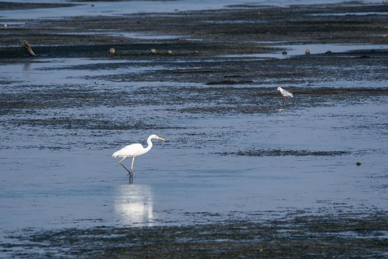 Northsea Egrets Silberreiher Nordfriesland Germany Schleswig-Holstein Wattenmeer Animal Wildlife Animal Animal Themes Vertebrate Animals In The Wild Water Bird Reflection Great Egret Beauty In Nature Water Bird White Color Nature No People