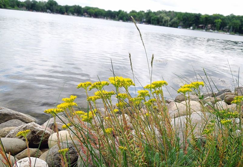 Flowers on edge of lake EyeEm Selects Nature Water Flower Lake Tranquility Plant Outdoors Beauty In Nature Day Grass No People Tranquil Scene Scenics Landscape