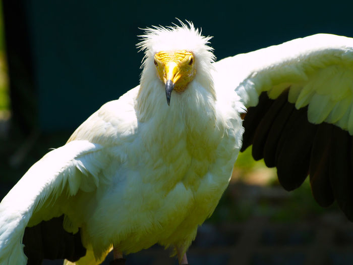 Animal Portrait Animal Themes Animal Wildlife Animals In The Wild Beak Beauty In Nature Bird Bird Of Prey Birds Close-up Day Egyptian Vulture Environment Falconry Looking At Camera Nature Neophron Neophron Percnopterus No People One Animal Outdoors Perching White Color