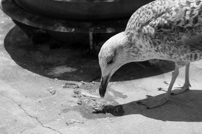 Seagull Eating Dead Fısh Animal Themes Animals Bird Bird Photography Birds Birds Of EyeEm  Birdwatching Outdoors Dockside Black & White Black And White Blackandwhite Close-up Blackandwhite Photography Bnw Eye4photography  EyeEm EyeEm Best Shots EyeEm Bnw EyeEmBestPics Monochrome Seagulls