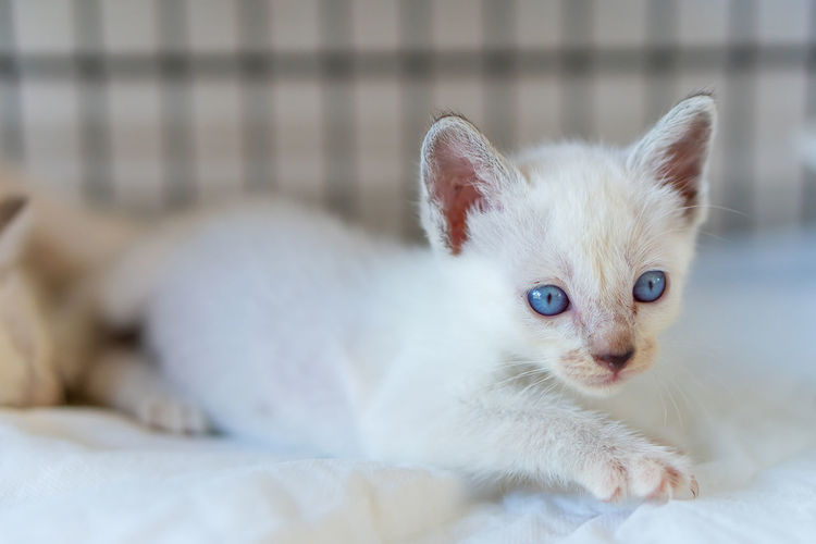 Close-up portrait of white kitten on bed