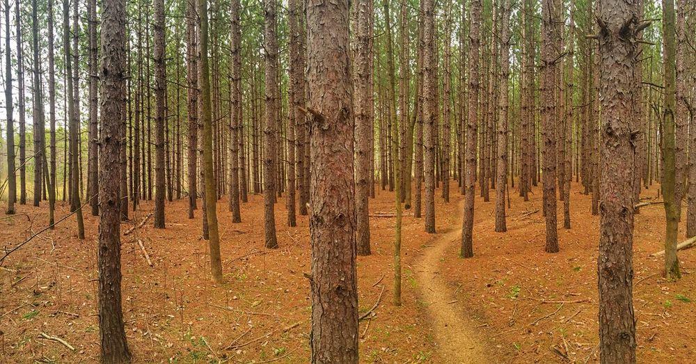 Pines Pine