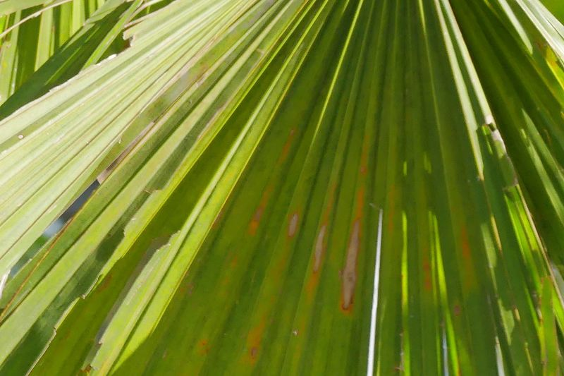 Sugar Palm Leaf Backgrounds Beauty In Nature Close-up Day Freshness Frond Green Color Growth Leaf Leaf Fantasy Leafs Photography Nature No People Outdoors Palm Leaf Palm Leaf Palm Tree Sugar Palm Sugar Palm Leaf Sugar Palm Tree Sugar Palms Sunlight Tree ใบไม้ ใบไม้สวย