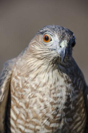 Close-up Portrait Of An Eagle