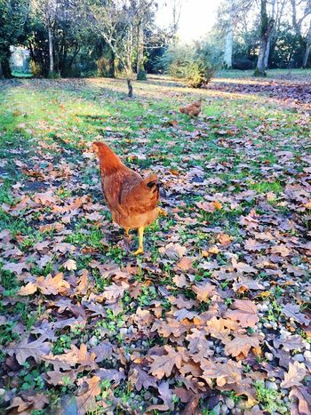 Hens And Chickens Autumn Outdoors Nature Animal Themes Domestic Animals Light And Shadow Fall Beauty