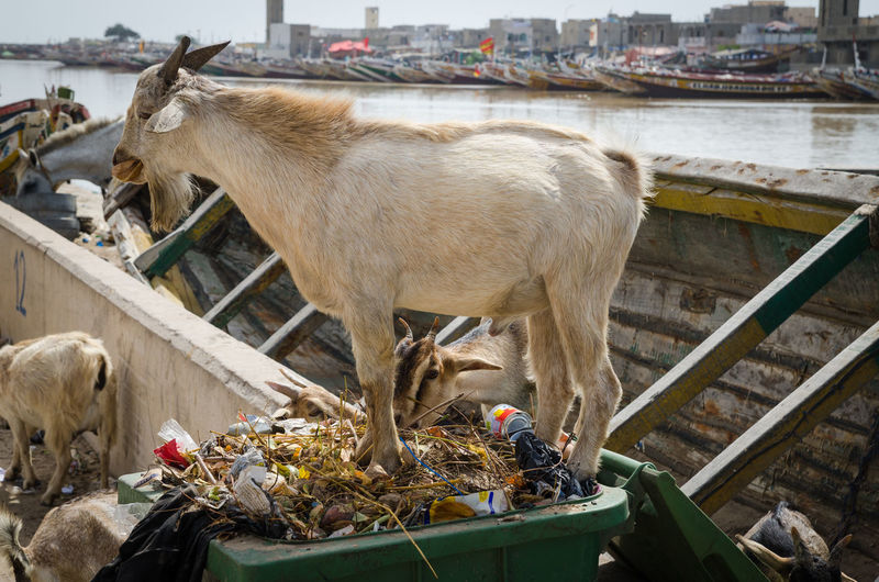 Goat standing in waste bin outdoors