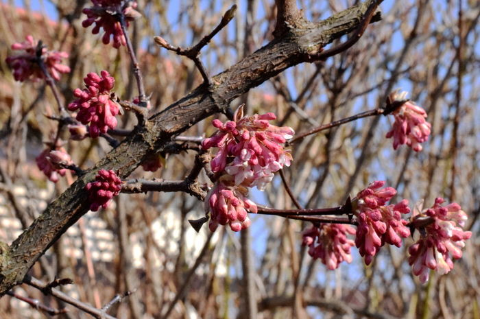 Winter blossoms. Only Flowers Beauty In Nature Blooming Blossom Branch Close-up Day Flower Flower Head Focus On Foreground Fragility Freshness Growth Low Angle View Nature No Leafs No People Outdoors Petal Pink Color Plum Blossom Red Springtime Tree Twig