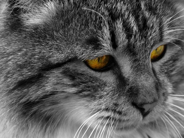 Cat Persian Cat  Eye Photo By  Ali Tavakoli Canon50D