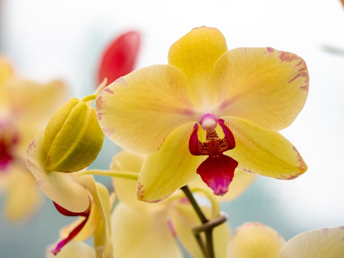 Plant Flower Flowering Plant Close-up Flower Head Nature Vulnerability  Fragility Freshness Orchid Yellow Beauty In Nature Red Phalaenopsis Moth Orchid Light Background Blossom Tropical Flower Botanical Garden Botany