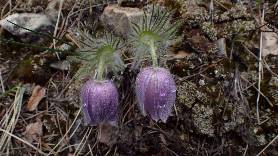 Nature's Diversities Dew-laden Prairie Crocus. Head Bowed Flowers Humble Fairy Flower Fragile Beauty Dew Early Riser Macro Wet